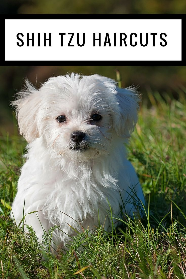 Shih Tzu Haircuts 3 Fun And Easy Styles For Your Shih Tzu For
