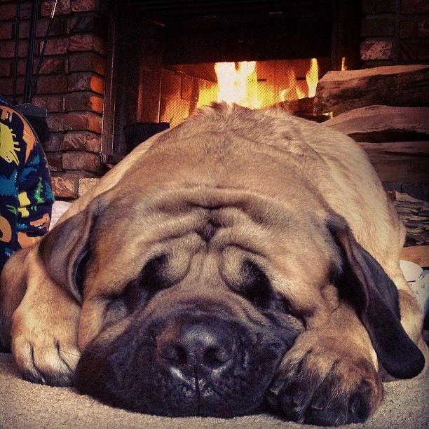 17 Best images about Mastiffs on Pinterest | English ...