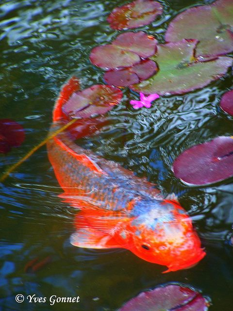 1292 best fish art images on pinterest pisces fish and for Carpes kois