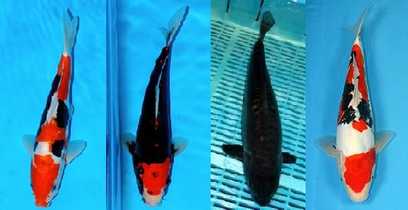 Example of color changes in a beni kumonryu koi it will for Kumonryu koi fish