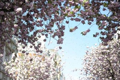 #kirschbluetenliveticker Freitag, Friday, 24.04.2015