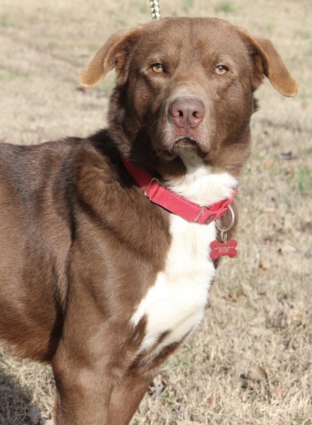 Judd - Chesapeake Bay Retriever/Chocolate Labrador Retriever Mix - Male - 3 yrs old - Big Fluffy Dog Rescue - Cincinnati, OH.