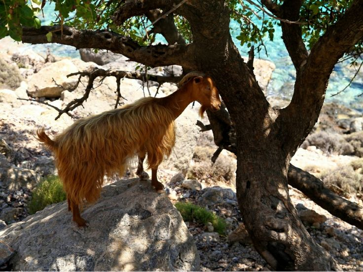 Crete - goat on a hill in Loutro