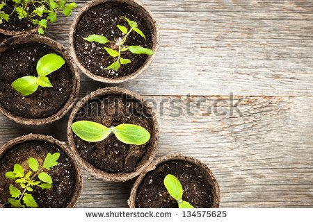 Potted seedlings growing in biodegradable peat moss pots on wooden background with copy space - stock photo