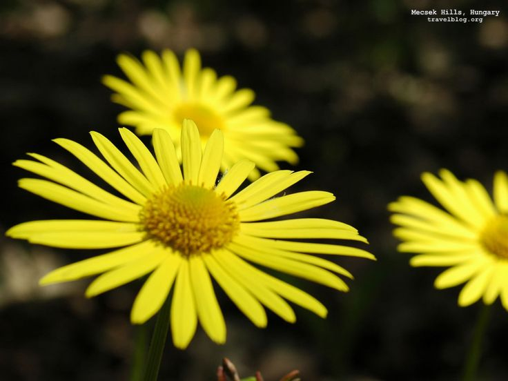 #Daisies for #Inspiration: Flower Pictures, Mas Pouco, Google Search, Flower Photos, The Flowers, Digital Cameras, Wedding Flower, Nature Beautiful, Yellow Flower