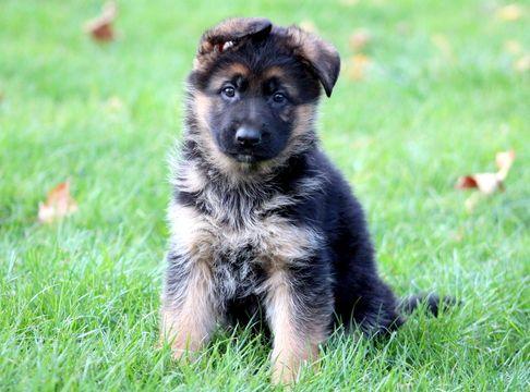 German Shepherd Dog puppy for sale in MOUNT JOY, PA. ADN-52143 on PuppyFinder.com Gender: Male. Age: 6 Weeks Old