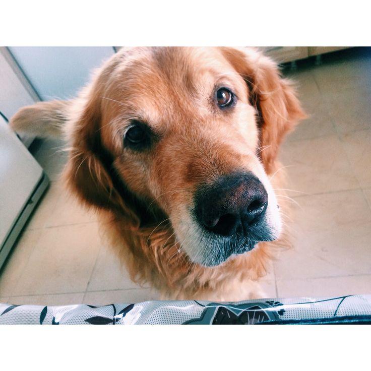 #goldenretiever #dogs