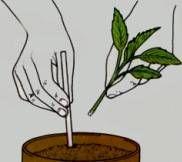 Enraizador casero con lentejas: Colocas muchas en un plato con un dedo o mas de agua. Las lentejas absorberán el agua y empezaran a germinar. Cuando germinen sácalas de ese agua y consérvala. Machaca las radículas. Añádelo al agua de remojo, ese es el enraizador casero. Las radiculas tienen una hormona llamada auxina que favorece el enraizamiento. Deja los esquejes recién cortados en el agua unas horas (antes raspa muy levemente la parte del tallo que vayas a sumergir). El sobrante se…