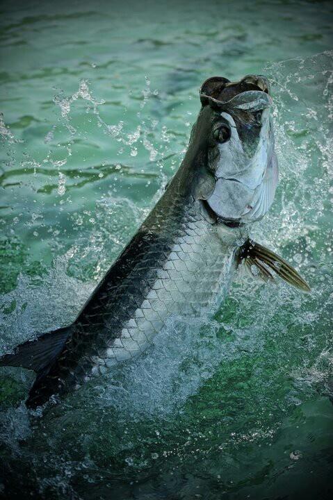 Tarpon-my favorite sport fish