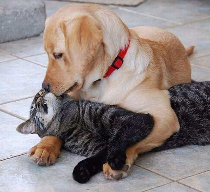 International Kissing Day. Let's celebrate :)Funny Pets, Labrador Retriever, Cat, Friends, Dogs, Opposites Attraction, A Kisses, Labrador Puppies, Animal