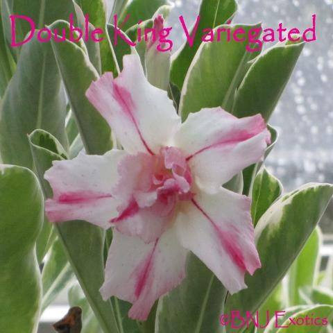 """Grafted Thai Adenium Cutting """"Double King Variegated""""  Thai Adenium. Double white bloom with pink streaks going down the middle of each petal. Scalloped edges.  Leaves are a pink and green variegated fading to yellow/white and green."""