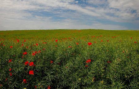 Poppy field in Iasi, Romania