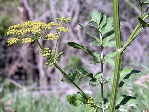 Wild Parsnip - watch out for this plant. Just because it's everywhere doesn't make it a nice plant!