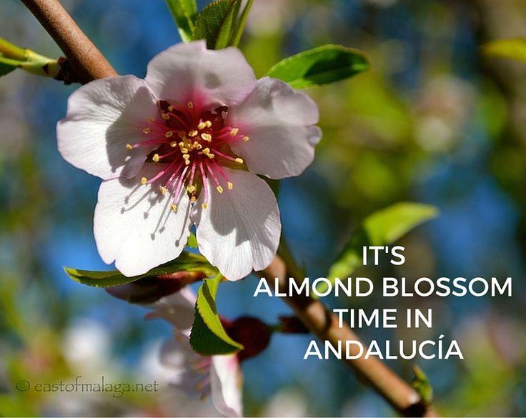 It's almond blossom time in Andalucía via @eastofmalaga www.eastofmalaga.net