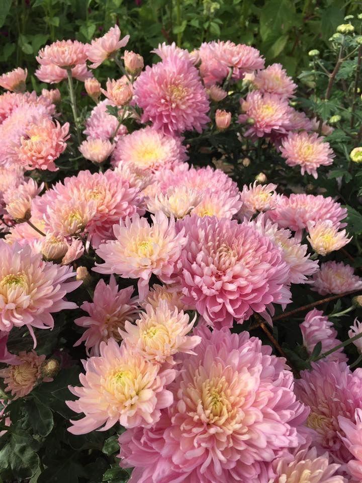 Chrysanthemum Rosedew