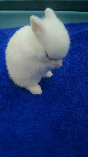 -this is so precious I could just cry- My praying baby bunny dwarf Hotot!! <3