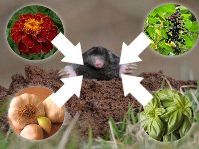 rośliny odstraszające krety i nornice