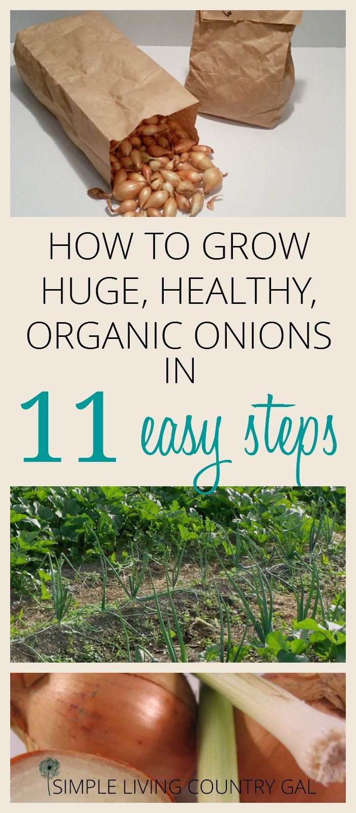 Growing onions is a great way to start your gardening journey. Simple and easy to do if you follow my tips. Grow huge organic onions every time! via @SLcountrygal