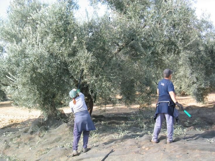 Nuestros olivares. Aceite Cortijo El Canal.