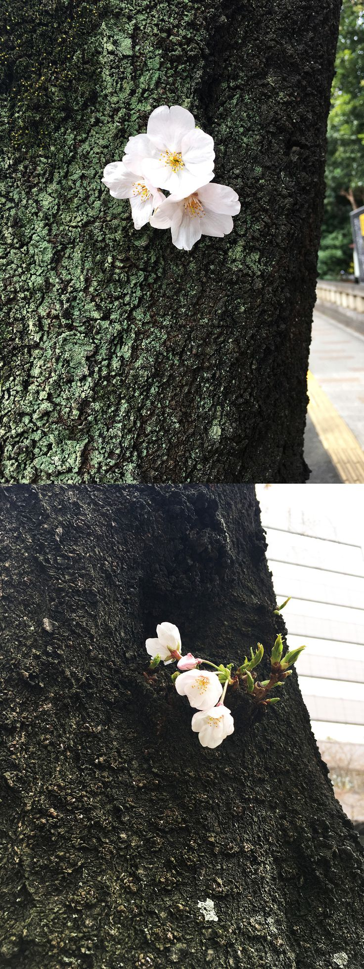 【編集者M】おはようございます。今日は靖国通りで小さな桜のつぶ子ちゃん2号(仮)達がバッチリ咲いていたらしく、編集長が朝からご満悦でした✨木の枝にたくさん咲く桜もいいですが、幹にちょこっと咲く桜もかわいらしくていいですね