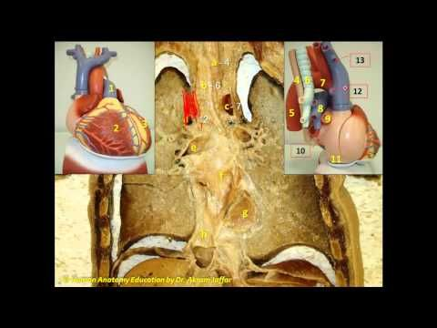 111 best abdomen images on pinterest anatomy nurses and medical anatomy question mediastinum relations 2 youtube ccuart Image collections