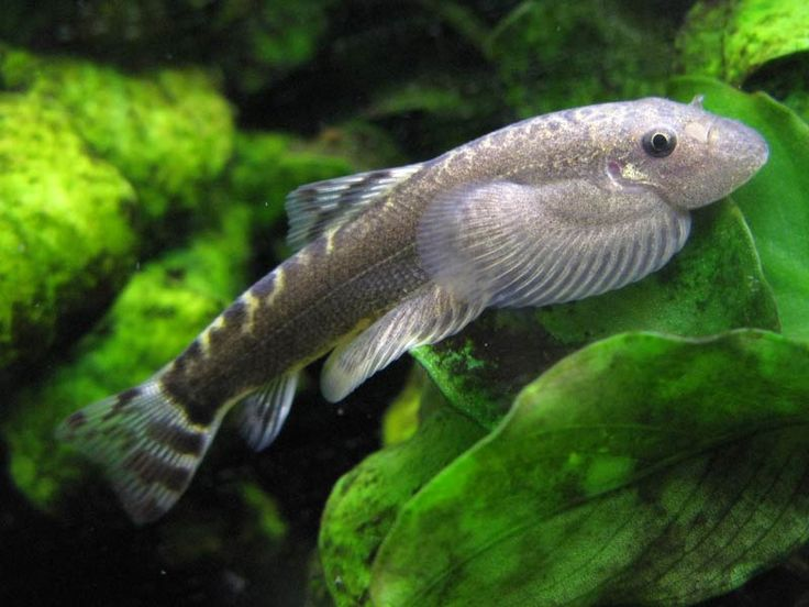 Sinogastromyzon puliensis temperature for general care for Temperature for fish