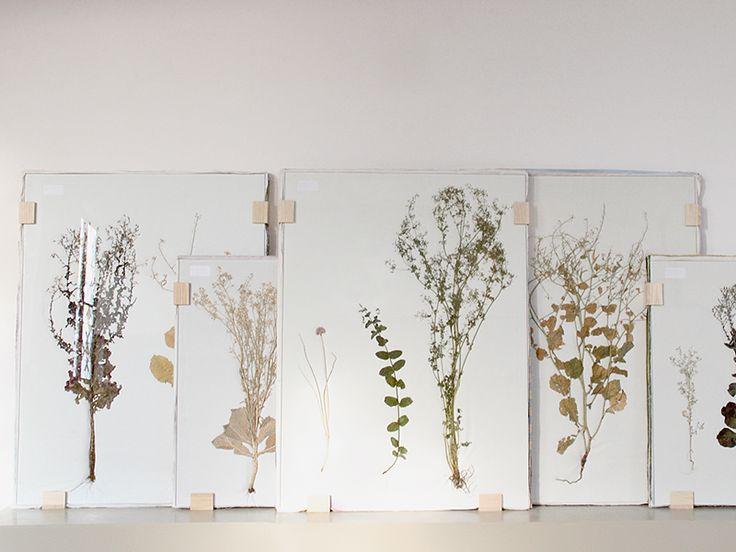Studio Maarten Kolk & Guus Kusters - Herbarium Flora. De ontwerpers laten het drogen van planten zien in de traditie van Linnaeus. De presentatie oogt bijzonder! Tuinplanten en groente, gedroogd en op dikke lagen textiel ingeklemd achter glas in een groot formaat, en dat alles staat los tegen de wand. Unieke stukken, te bezichtigen bij ons in de winkel en online!