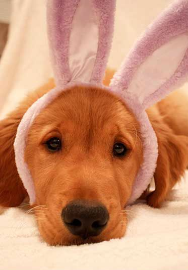 Bunny Dog is questioning why he has bunny ears on... and more importantly when is this thing coming off?