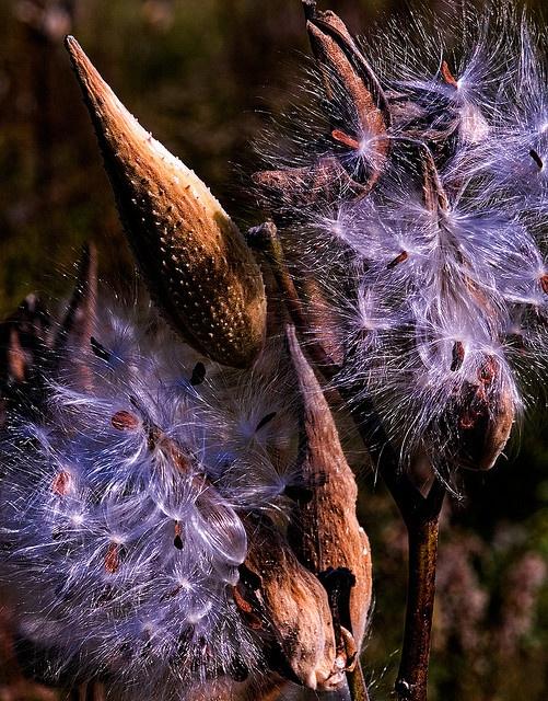 Autumn Milkweed pods