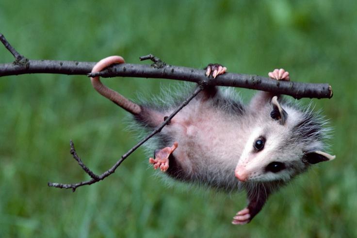 Awesome possum.: Nature, Funny, Possom Racoons, Awesome Possum