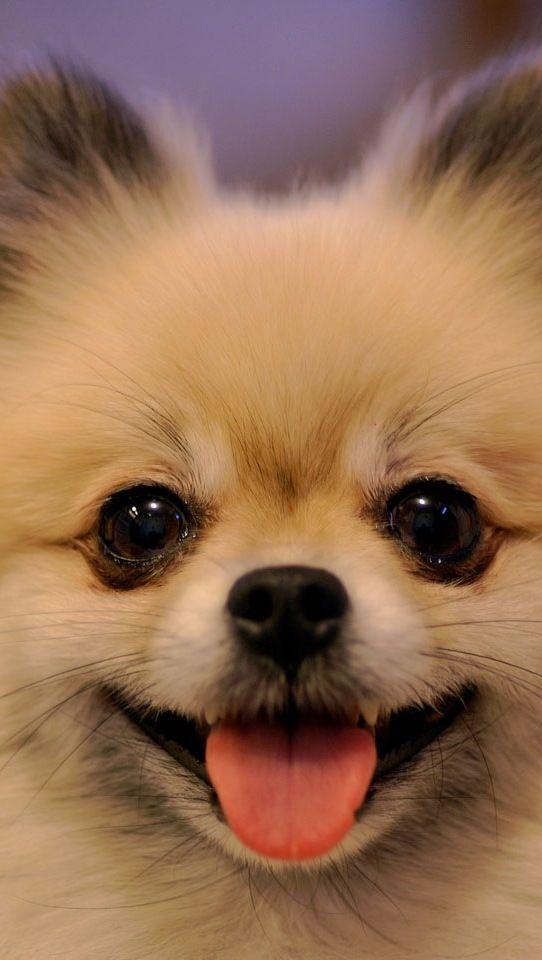 Pomeranians have the most adorable faces!!!