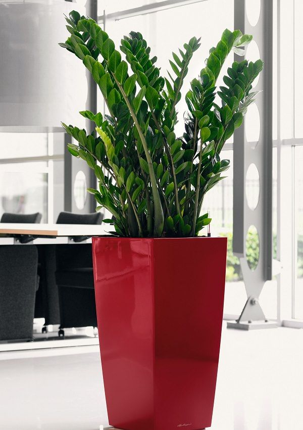 6.- La zamioculca es una planta tropical originaria del Este de Asia. Necesita poca luz y puede crecer en cualquier lugar. Sus hojas, gruesas y brillantes, son muy decorativas.