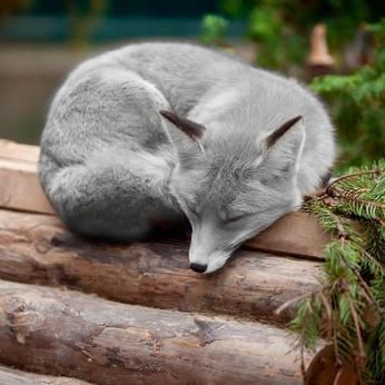 """A silver fox, this is the most gorgeous fox I've ever seen. * * """" ME DREAM IS MARVELOUS. I HAZ A MACHINE GUN AND AM CUTTIN' DOWN ALL DE FUR INDUSTRY FREAKS AND DE POACHERS."""""""
