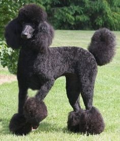 Photo of Standard Poodle for fans of Standard Poodle .the prettiest Poodle I have ver seen....next to my Daisy.