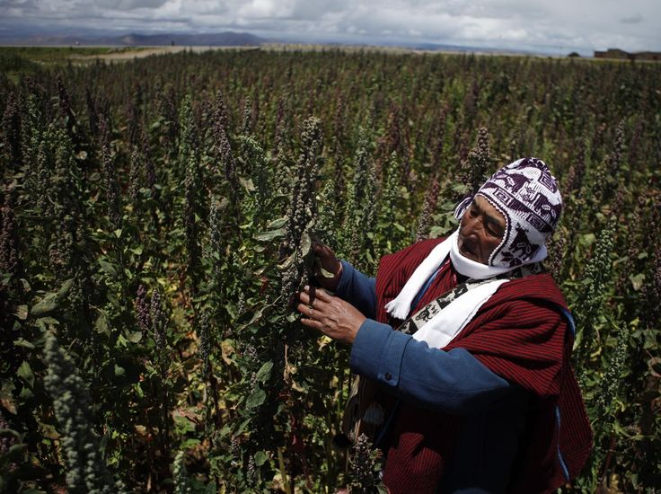 Farmer Geronimo Blanco shows his quinoa plants in Patamanta, Bolivia, in February. A burgeoning global demand for quinoa has led to a threefold price increase since 2006.