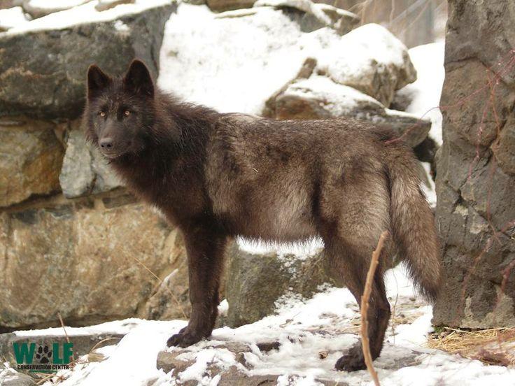 Wolf Den Shared Wolf Conservation Center Photo