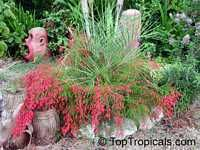 Russelia equisetiformis, Firecracker Fern, Coral Plant  Click to see full-size…