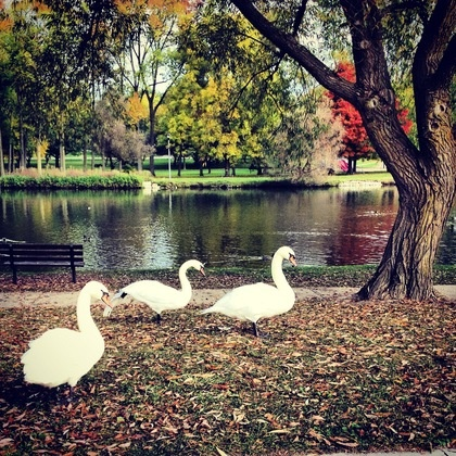 Swans by the Avon River, Stratford, Ontario by: Sharlene Mattucci