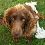 Field Spaniel images