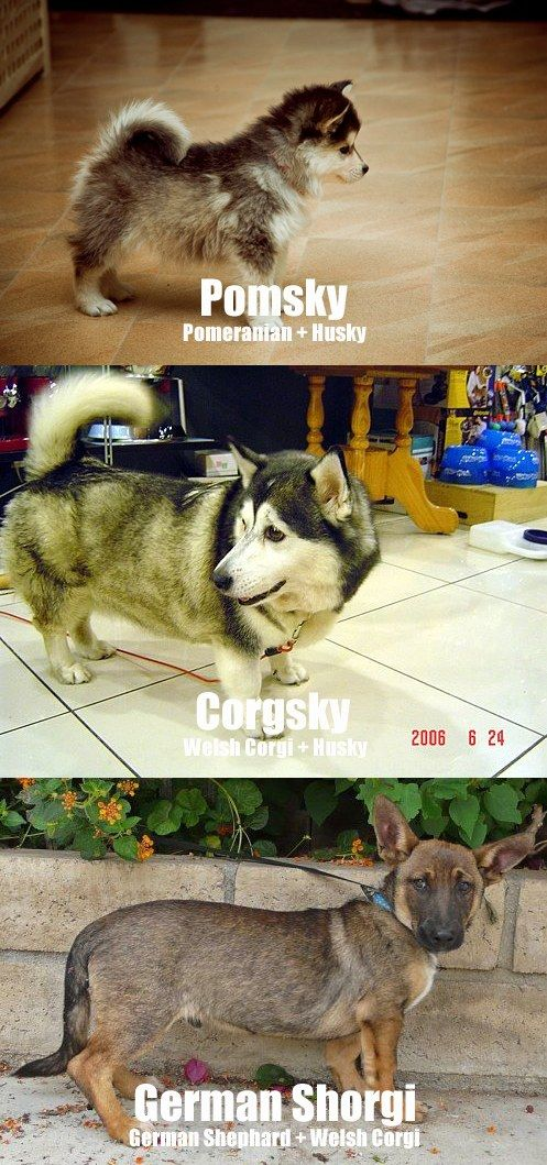 awwwhh: Dogs 3, Cutest Dogs, Puppies Stuff, Adorable, Crosses, Cousins, Awwwhh, Corgi Mixed, Animal