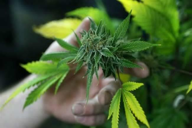 La siembra, cultivo o cosecha de plantas de marihuana no se castigará: aprueban uso de marihuana medicinal | El Puntero