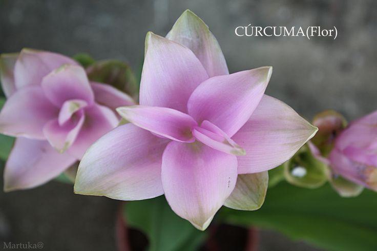 Cúrcuma flor, Especia y planta medicinal