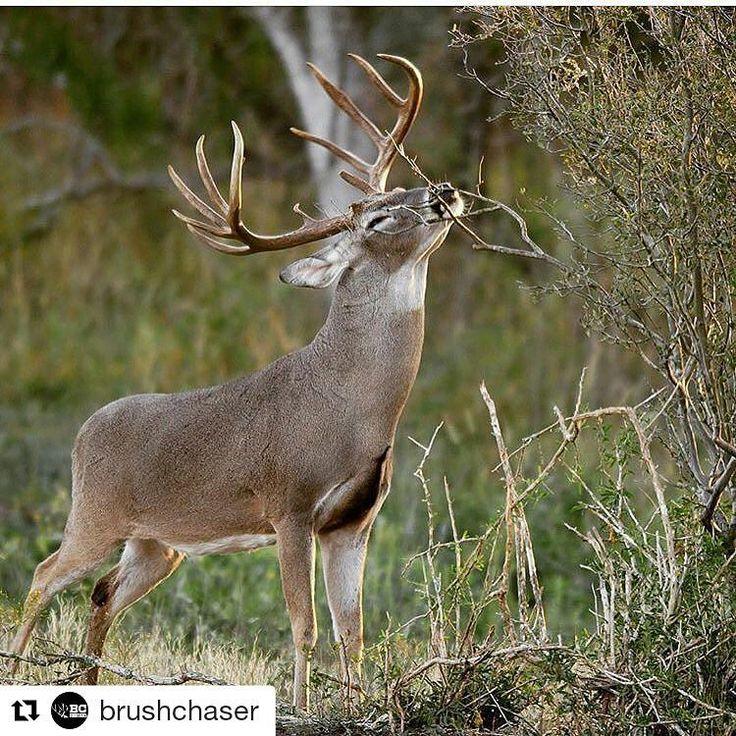 #Repost @brushchaser (@get_repost) ・・・ I'm ready for the best season of all... @brabaranch #brushchaser #bc #texas #texasdeer #texashunting #deerhunting #deer #hunting #hunt #bowhunting #bow #whitetail #giant #trophy #sportsman #outdoors #ranch #deer #buck #rifle #beast http://misstagram.com/ipost/1546932500412951589/?code=BV3zunCnuwl