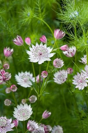 Astrantia major. shade-tolerant, long-flowering and very long-lived perennials in the garden and cut for a vase - cottage garden favourites.
