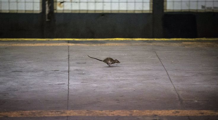 How the Brown Rat Conquered New York City (and Every Other One, Too) - The New York Times