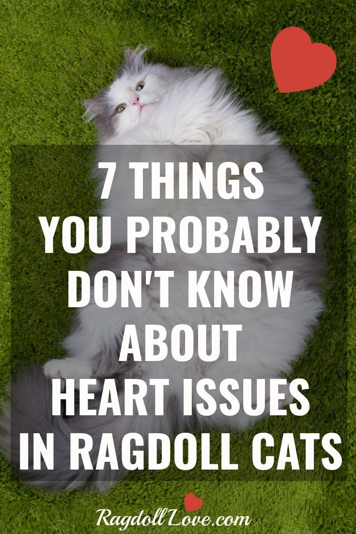 7 Things You Probably Don T Know About Heart Issues In Ragdoll Cats Cat Care Tips Cat Health Cats