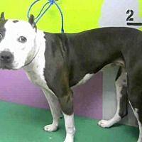 Houston, Texas - Staffordshire Bull Terrier. Meet BESSIE, a for adoption. https://www.adoptapet.com/pet/19753030-houston-texas-staffordshire-bull-terrier