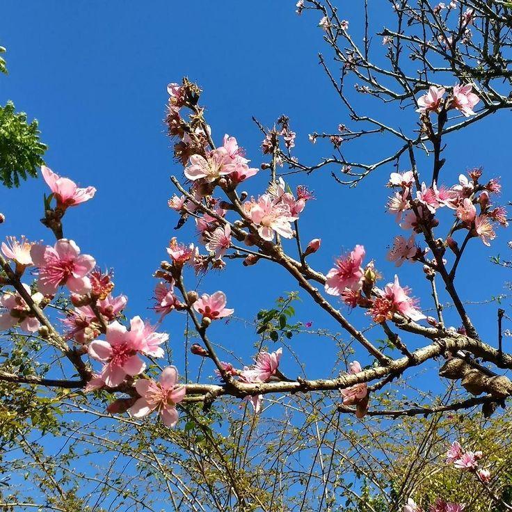 Flores de pêssego.