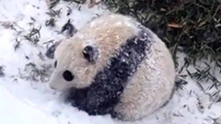 Bao Bao the panda plays in the snow for the first time at the Smithsonian National Zoo.