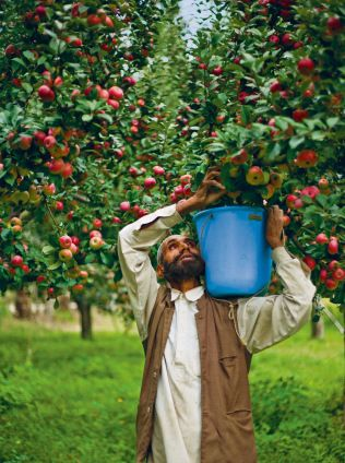 A majority of Kashmir's annual income is dependent on apple produce and therefore, it is not uncommon to see large tracts of land devoted to carefully maintained apple orchards. There are many varieties grown in Kashmir, but the most popular and expensive is Kashmir Golden Apple.
